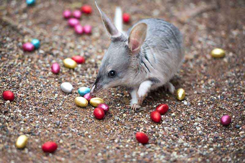 A Páscoa na Austrália, costumes e tradições