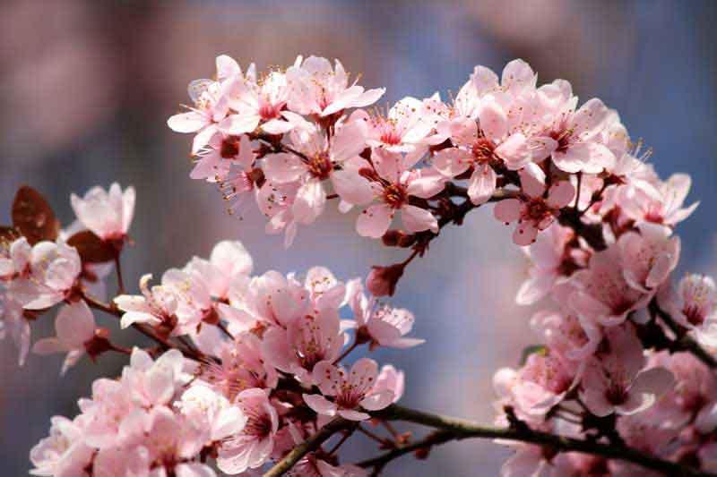 flor de cerejeira em inglês
